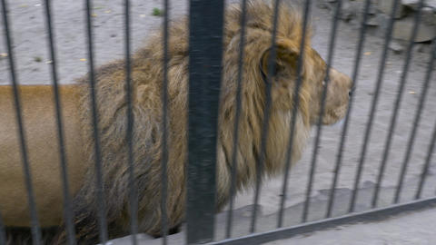 African lion in a cage walks in a circle Live Action
