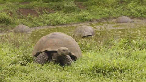 Galapagos Giant Tortoises on Santa Cruz Island in Galapagos Islands Footage