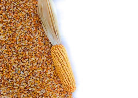 background with texture of corn grains and place for text Photo