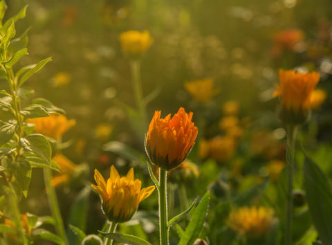 Calendula blossom in the warm light of the summer sun Photo