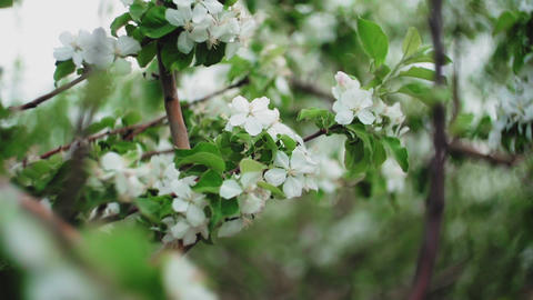 Apple tree flowers on branch and tree in blossom Live Action