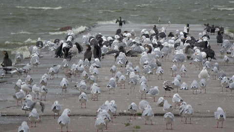 Many sea birds on concrete pier in wind Live Action