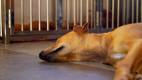 skinny bright ginger dog with long muzzle sleeps deeply Footage