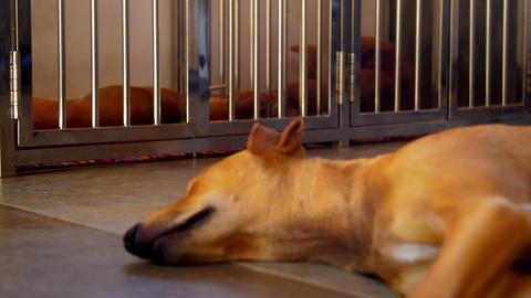 skinny ginger dog sleeps on cool floor against neighbors Footage