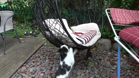Domestic cat to jump up on hanging chair in yard Live Action