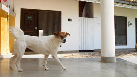 white dog with brown muzzle funny tail walks along shelter Live Action