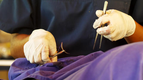 skillful veterinarian makes dangerous surgery operation Live Action