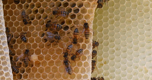 European Honey Bee, apis mellifera, Bees on a wild Ray, Bees working on Alveolus, Wild Bee Hive in Live Action