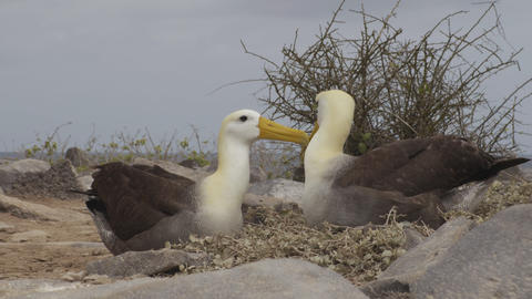 Galapagos Islands - Galapagos Albatross aka Waved albatrosses on Espanola Island Footage