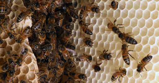 European Honey Bee, apis mellifera, Bees on a wild Ray, Bees working on Alveolus, Cell of Queen, Live Action