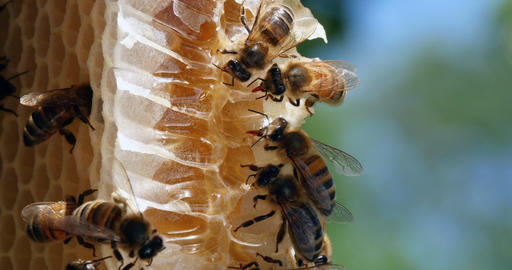 European Honey Bee, apis mellifera, Bees on a wild Ray, Bees working on Alveolus, Bees Licking Live Action