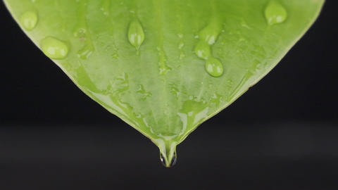 Slow motion. Macro close-up, raindrops falling on a green leaf. Streams of water Live Action