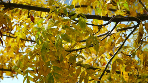 yellowed leaves on a tree in autumn Live Action