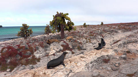 South Plaza Island in the Galapagos Islands - Sea Lions on land in nature Footage