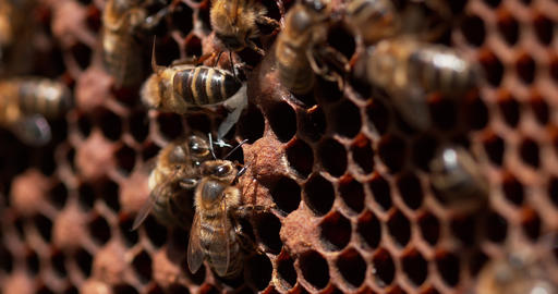 European Honey Bee, apis mellifera, Bees standing at the Entrance of The Hive, Bees exitinga Nymph Live Action