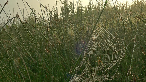 Misty morning on a lawn with coastal grass covered with cobweb ビデオ