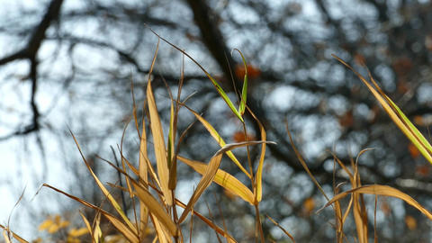 Dry stems of yellowed grass sway the autumn wind GIF
