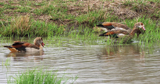 Egyptian Goose, alopochen aegyptiacus, Adults standing in Water, Nairobi National Park in Kenya, Footage