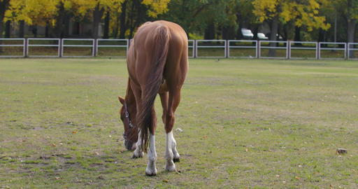 Back view of a graceful brown horse eating grass in the corral. Beautiful animal Footage