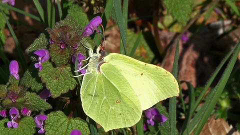 Brimstone, gonepteryx rhamni, Adult Foraging a Flower, Pollinisation Act, Normandy, Real Time Footage