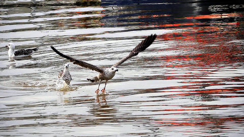 Herring Gull, larus argentatus, Immature in Flight, taking off from Water, Normandy, Slow motion Live Action