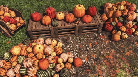 Autumn harvest of pumpkins on farmer's market Live Action