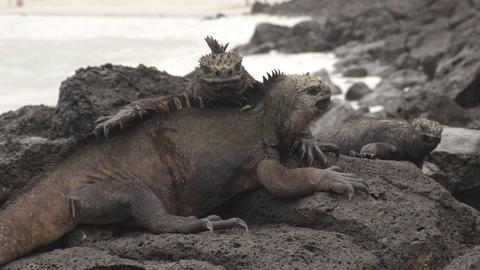 Galapagos Islands Marine Iguanas behavior walking on rocks on Tortuga bay beach Live Action