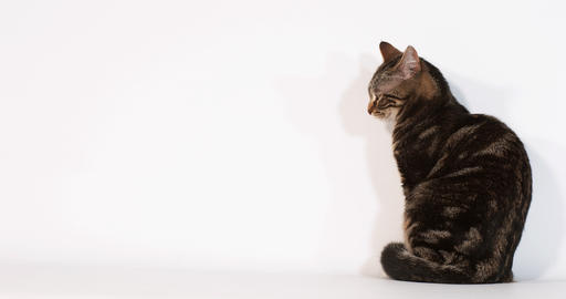 Brown Tabby Domestic Cat sitting against White Background, Slow motion 4K Live Action