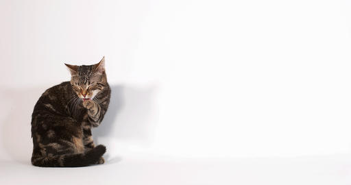 Brown Tabby Domestic Cat Licking against White Background, Slow motion 4K Live Action