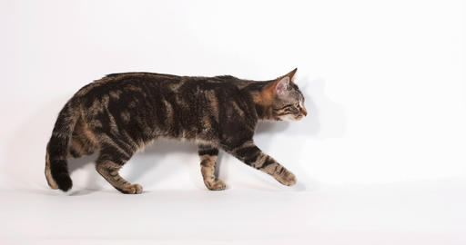 Brown Tabby Domestic Cat Walking and Meowing against White Background, Slow motion 4K Live Action