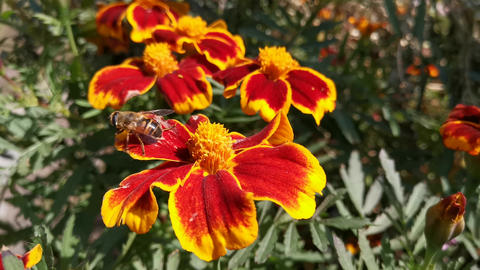 Flower background with marigold flowers and bees Live Action