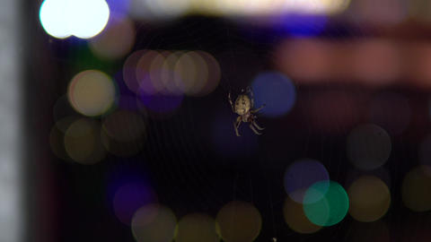 A spider breed cross is sitting on a spider web. Against the background of Live Action