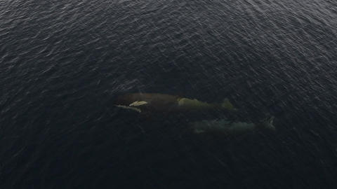 Orca Whale in Antarctica swimming close to ship Live Action