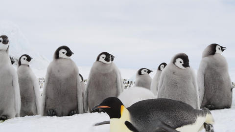 Emperor Penguin chicks ,Aptenodytes forsteri, on the ice Live Action