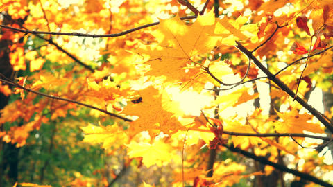 Sunshine through autumn golden leaves and maple branches in a beautiful park Live Action