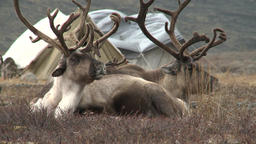 Reindeer Graze On A Background Of Hills In The Tundra 2