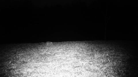 House Mouse (Mus Musculus) Looks for Food in a Meadow in the Night Footage
