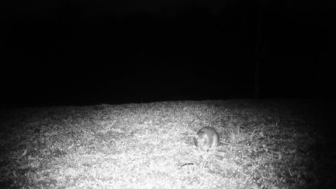 House Mouse (Mus Musculus) Eats Food in a Meadow in the Night Footage