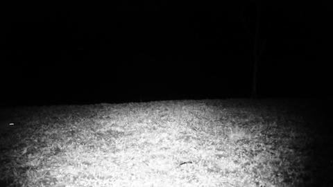 House Mouse (Mus Musculus) in a Grass Field in the Night. Animals FullHD Video Footage
