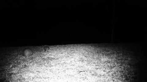 Two House Mouses (Mus Musculus) Eat Food in a Meadow in the Night. Animals Footage