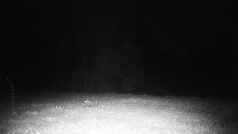 Coypu (Myocastor Coypus) or Nutria Graze in a Grass Field by Night Footage
