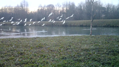 A Flock of Western Cattle Egret (Bubulcus Ibis) close to a Pond at Sunrise Footage