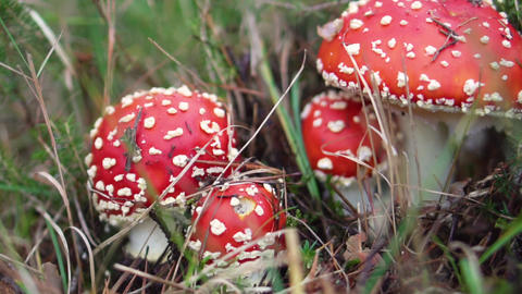 Amanita Muscaria in autumn. Fly-agaric in a autumn forest. Poisonous mushroom Live Action