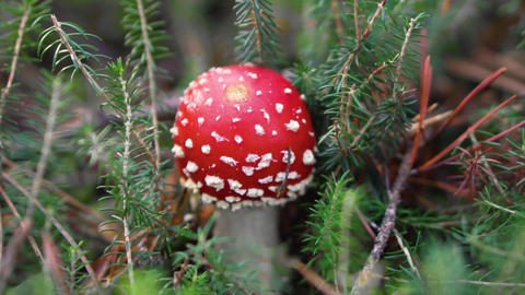 Amanita Muscaria, poisonous mushroom in natural forest background GIF