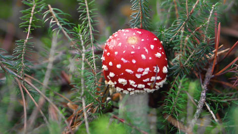 Amanita Muscaria in autumn. Fly-agaric in a autumn forest. Poisonous mushroom Footage