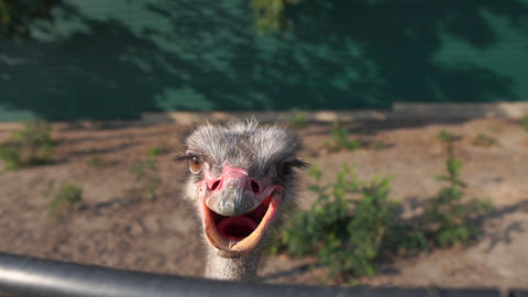 Close-up ostrich head with open beak in the zoo in slow motion Live Action