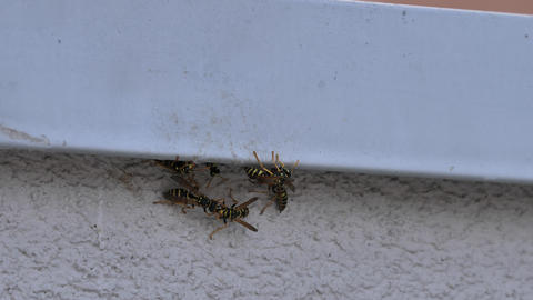 Close view of Yellow and Black Paper Wasps on the grey wall of an house Footage