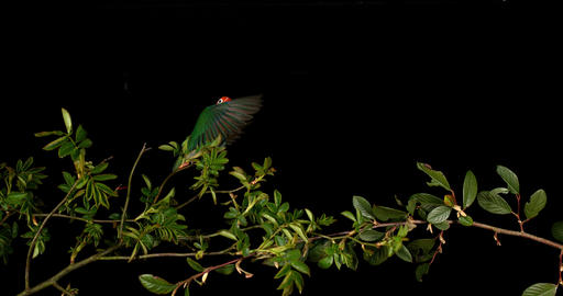 Fischer's Lovebird, agapornis fischeri, Adult standing on Branch, taking off, in flight, slow motion Footage