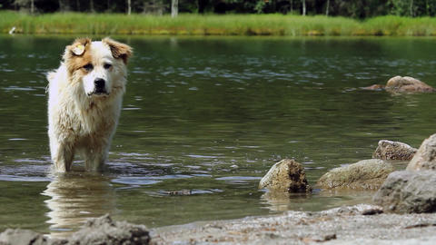 White dog cools into a mountain river and then goes to the one who whistles 20 Footage
