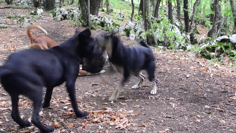 Four dogs are playing on the road in the midst of green forests 01 Footage